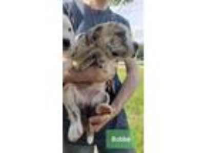 Adopt Bubba a Brindle Terrier (Unknown Type, Small) / Boxer / Mixed dog in