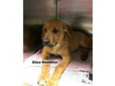 Adopt Eliza Hamilton a Tan/Yellow/Fawn Mastiff / Rottweiler / Mixed dog in