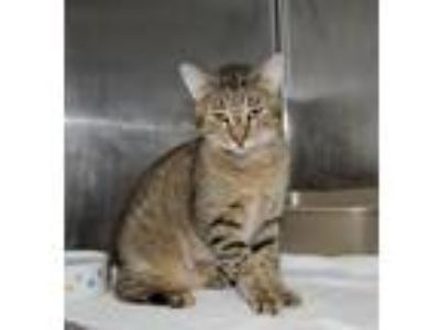 Adopt Abner a Brown Tabby Domestic Shorthair / Mixed (short coat) cat in Hilton