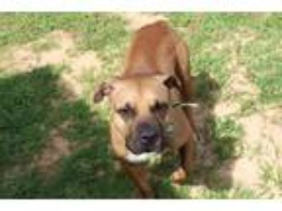Adopt Riley a Tan/Yellow/Fawn - with Black American Staffordshire Terrier /