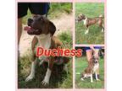 Adopt Duchess a Catahoula Leopard Dog, Great Dane