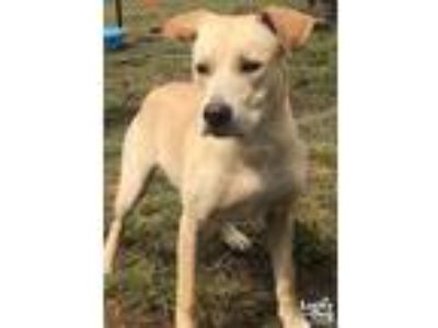 Adopt Rizzo a Tan/Yellow/Fawn Labrador Retriever / Mixed dog in Washington