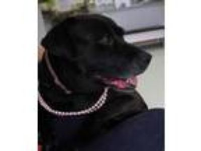 Adopt Pam a Black - with Gray or Silver Labrador Retriever / Mixed dog in Yukon