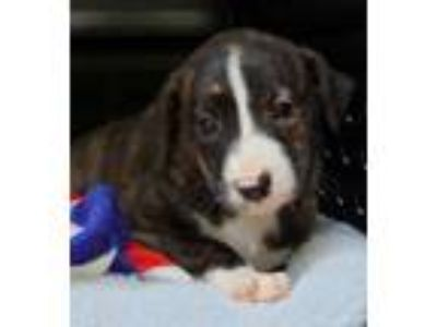 Adopt Galway a Catahoula Leopard Dog