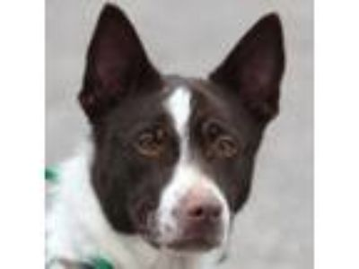 Adopt Fiesta a Border Collie, Chocolate Labrador Retriever