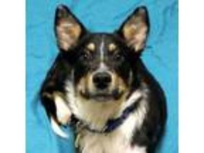 Adopt Mystic a Collie, Mixed Breed