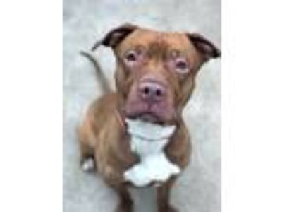 Adopt Maple a Brown/Chocolate Pit Bull Terrier / Mixed Breed (Large) / Mixed dog