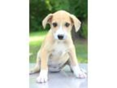 Adopt Remy a Tan/Yellow/Fawn - with White Labrador Retriever / Mixed dog in