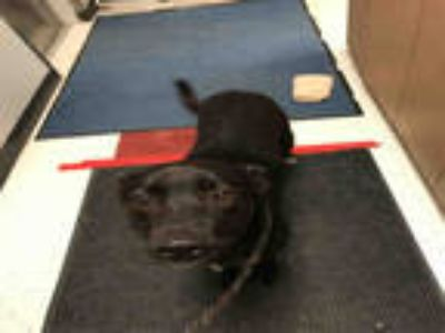 Adopt ARIE a Black Labrador Retriever / Mixed dog in Plano, TX (25794445)