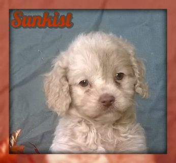 Sunkist Female Cockapoo