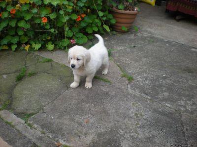 dfbgfdnjf Golden Retriever puppies for sale