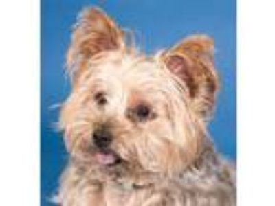 Adopt Nugget a Yorkshire Terrier