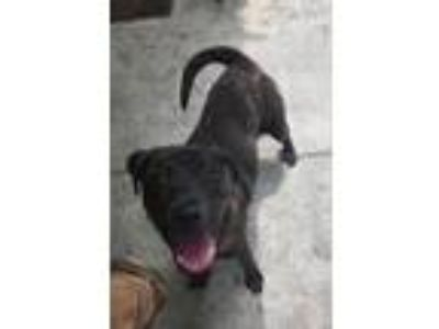 Adopt Theo a Brindle Retriever (Unknown Type) / Mixed dog in Jacksonville