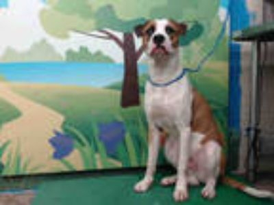 Adopt SKEETER a White - with Tan, Yellow or Fawn Boxer / Labrador Retriever /