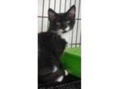 Adopt SULLEY a All Black Domestic Shorthair / Domestic Shorthair / Mixed cat in
