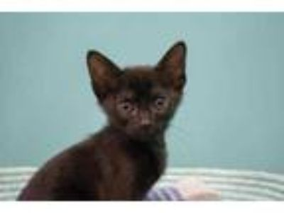 Adopt Mister Moe a All Black Domestic Shorthair / Domestic Shorthair / Mixed