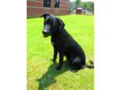 Adopt a Black - with White Labrador Retriever / Mixed dog in Grovetown