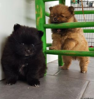 Gorgeous Pomeranian Pups Available Now For Sale