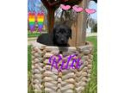 Adopt Rita a Black Labrador Retriever, Labrador Retriever