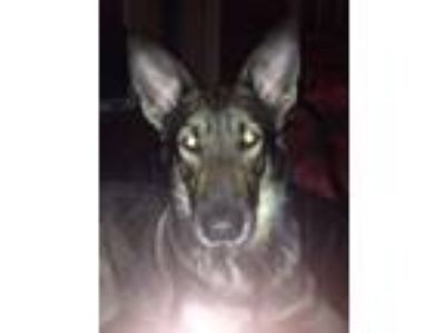 Adopt Diamond (Guest) a Black - with Tan, Yellow or Fawn German Shepherd Dog /