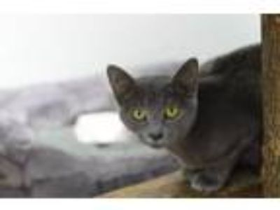 Adopt Susquehanna 181062 a Domestic Short Hair