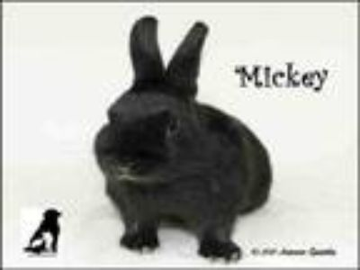 Adopt MICKEY a Bunny Rabbit