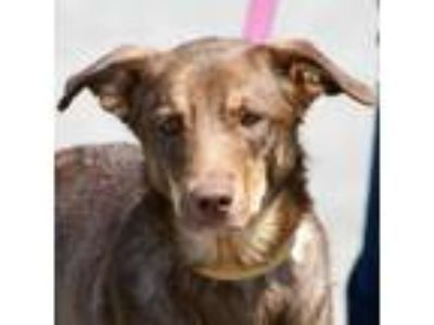 Adopt Raven a Brown/Chocolate - with White Australian Shepherd / Border Collie /