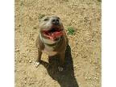Adopt Bane a Pit Bull Terrier / Mixed dog in Maquoketa, IA (25279529)