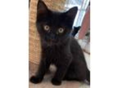 Adopt Louie - 12 weeks a All Black Domestic Longhair / Mixed (long coat) cat in