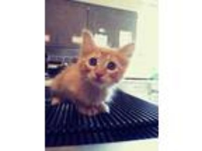 Adopt Arron a Orange or Red Domestic Shorthair / Domestic Shorthair / Mixed cat