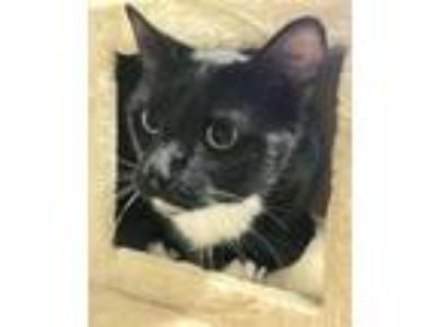 Adopt Oreo a Black & White or Tuxedo Domestic Shorthair (short coat) cat in