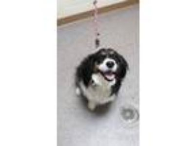 Adopt Amelia a Black Cocker Spaniel / Australian Shepherd / Mixed dog in