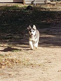 Siberian Husky PUPPY FOR SALE ADN-104533 - Husky pup