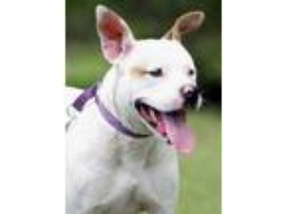 Adopt Runner a American Staffordshire Terrier / Mixed dog in North Fort Myers