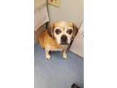 Adopt Barbara Jean a Pug / Beagle / Mixed dog in Vineland, NJ (25843640)