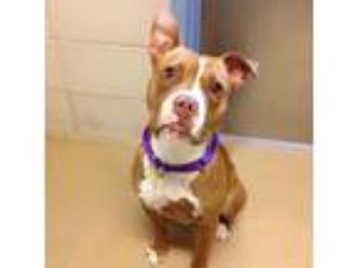 Adopt Olive Oil a Tan/Yellow/Fawn American Pit Bull Terrier / Mixed dog in