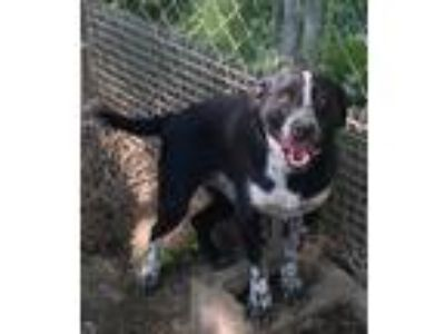Adopt Maddy a Black - with White Australian Cattle Dog / Labrador Retriever /