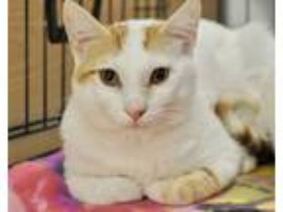 Adopt Thomas a White (Mostly) Domestic Shorthair (short coat) cat in Great