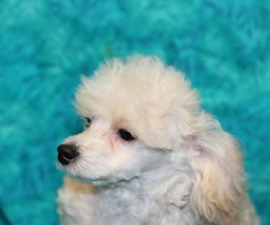 Puppy - For Sale Classified Ads in Labadieville, Louisiana - Claz org