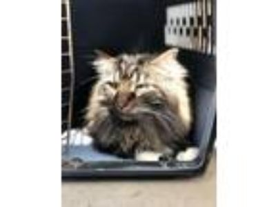 Adopt Ollie (cat) a Gray or Blue Domestic Longhair / Mixed cat in FREEPORT