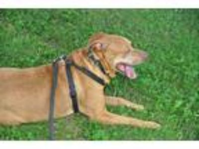 Adopt Dane a Red/Golden/Orange/Chestnut Great Dane / Pit Bull Terrier / Mixed