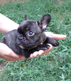 Miniature French bulldog puppy