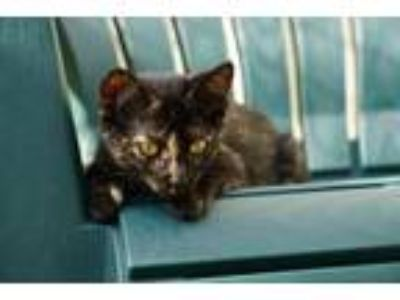 Adopt Esperanza a Domestic Medium Hair, Manx
