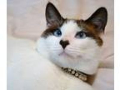 Adopt Romeo a Snowshoe cat in Somers, CT (25335873)