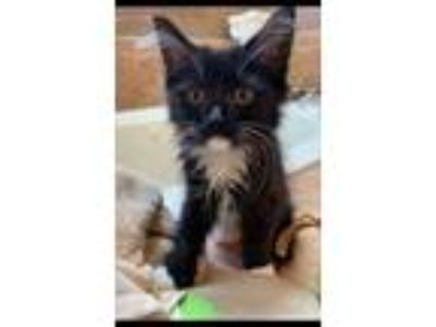 Adopt Lillian a Domestic Mediumhair / Mixed cat in Maywood, IL (25917722)