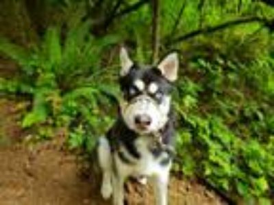 Adopt Bandit a Black - with White Husky dog in Snoqualmie, WA (25270218)