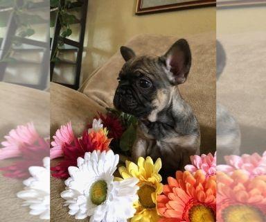 French Bulldog PUPPY FOR SALE ADN-130225 - Two Boys