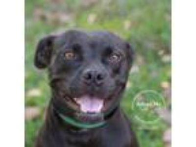 Adopt Joan Jett a Boxer, Pit Bull Terrier