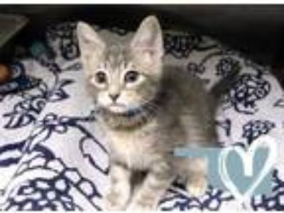 Adopt Scratchy a Gray or Blue Domestic Shorthair / Domestic Shorthair / Mixed