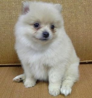 resilient Pomeranian Puppies